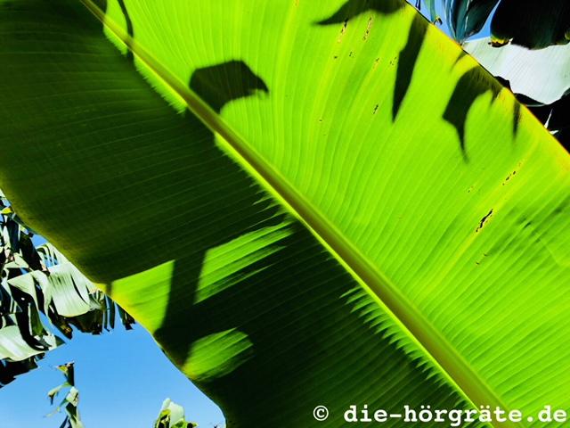 Blatt eines Bananenbaums