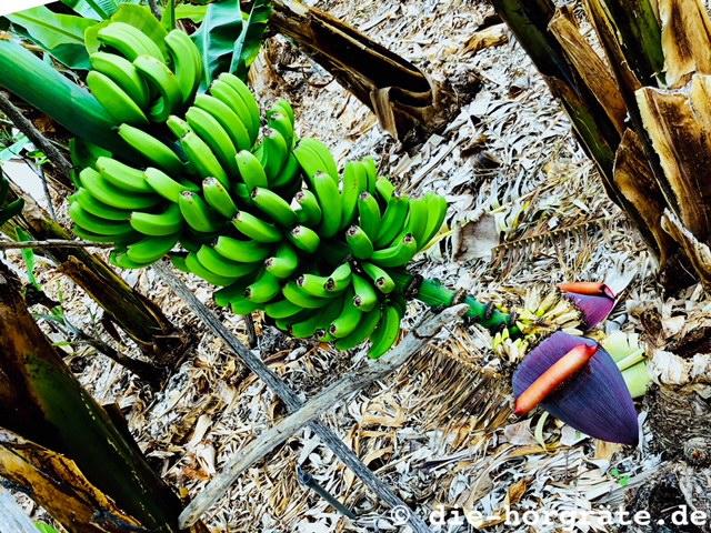 Bananenstaude und Blüte