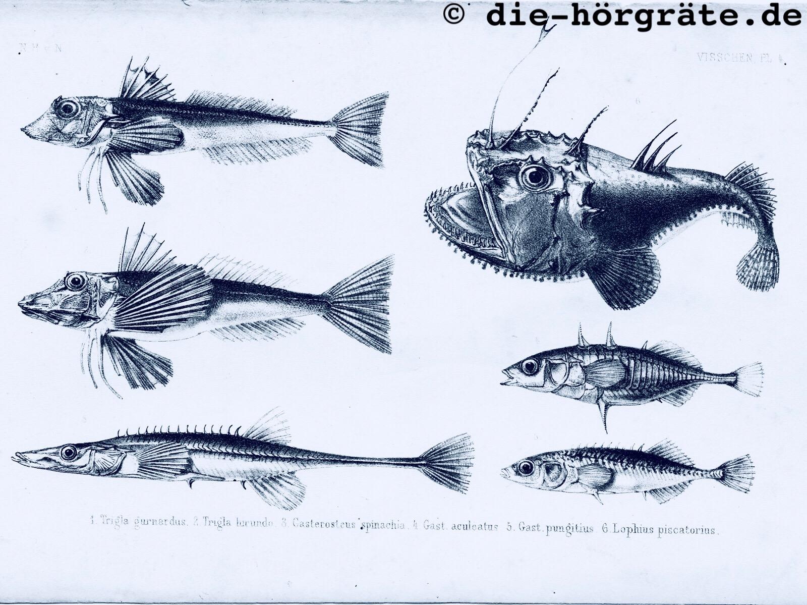 sehr filigrane Zeichnungen von sechs verschiedenen Fischen aus einem alten Buch