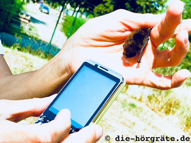 Zwergfledermaus mit Ultraschalldetektor